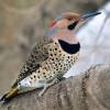 State Bird ALABAMA Northern Flicker